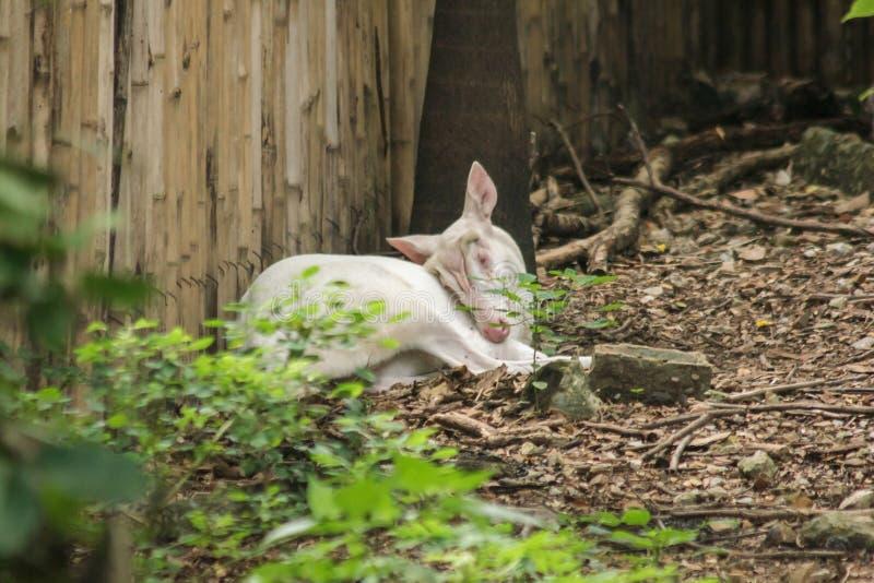 Олень альбиноса общий лаяя как обычный олень, стоковое фото rf