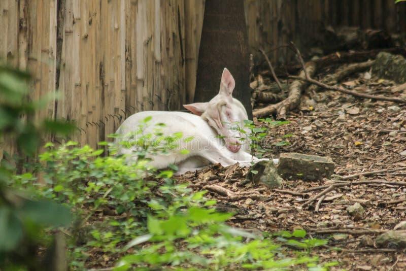 Олень альбиноса общий лаяя как обычный олень, стоковое фото