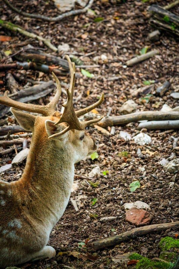Олень с большим antler сидит на поле леса стоковая фотография