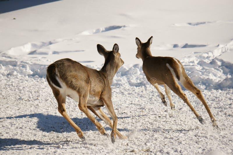 2 оленя Whitetail бежать в снеге стоковые изображения rf
