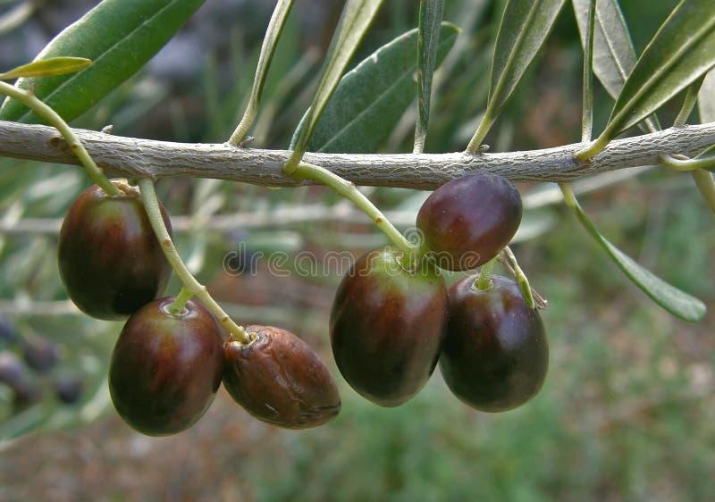 оливки высушенные чернотой зрелые стоковая фотография rf