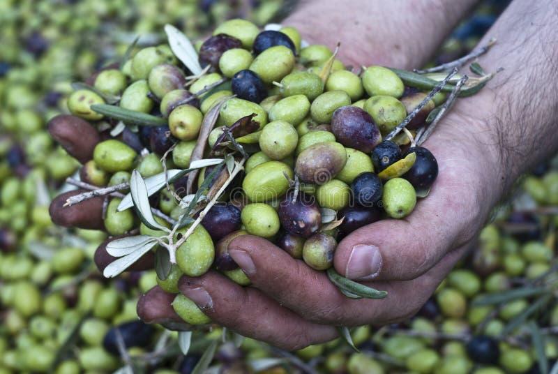 Оливки в руках стоковые изображения rf