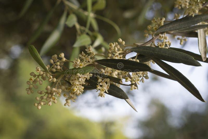 Оливковая ветка с открытыми цветками стоковое фото