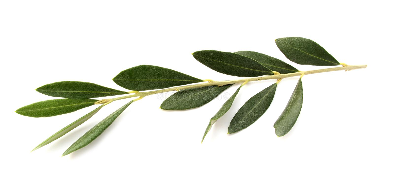 Оливковая ветка стоковая фотография