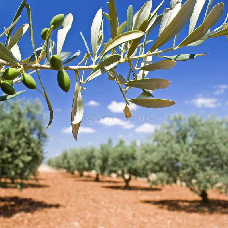 оливковое дерево ветви стоковое изображение