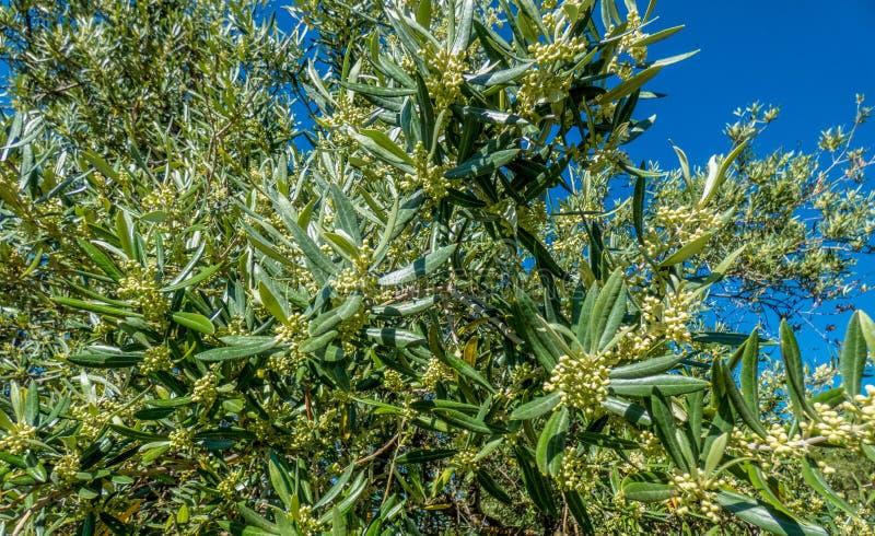 Оливковое дерево в цветени Ветвь оливкового дерева вполне цветков, Испании стоковые изображения