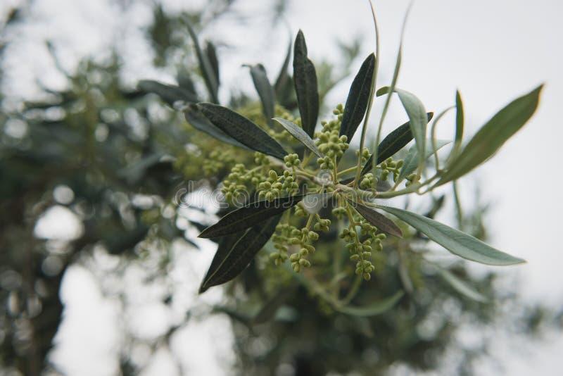 Оливковое дерево в цветени Ветвь оливок с bokeh стоковая фотография rf