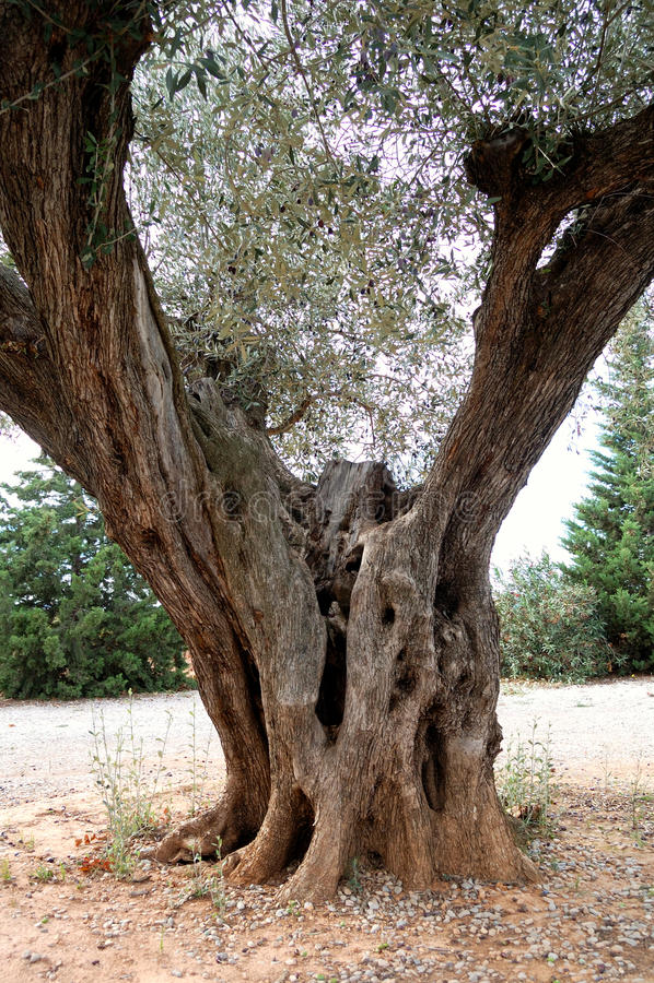 оливковое дерево детали старое стоковое изображение rf