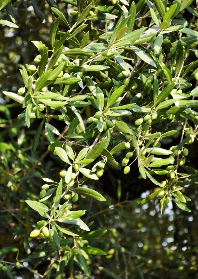 оливковое дерево детали стоковое изображение rf