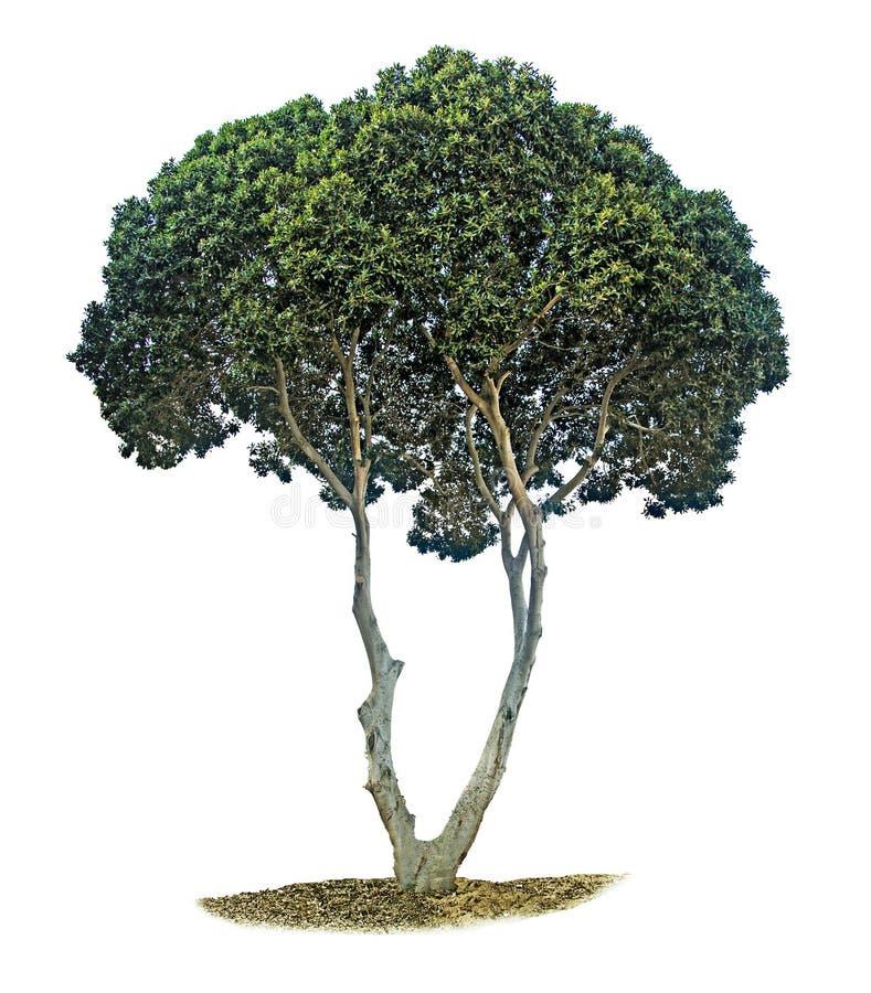 Оливковое дерево на белизне стоковые изображения