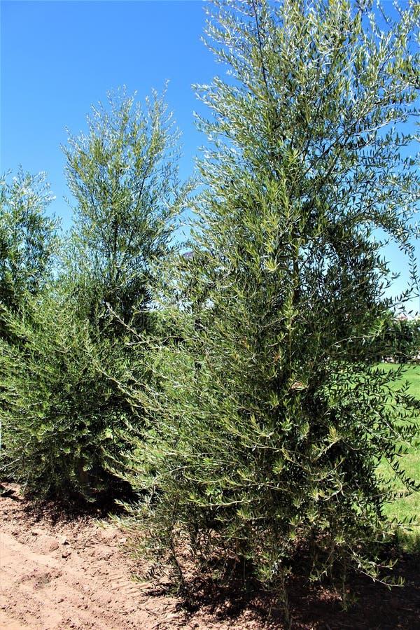 Оливковое дерево, europaea маслины, европейская оливка расположенная в заводи ферзя, Аризоне, Соединенных Штатах стоковое фото