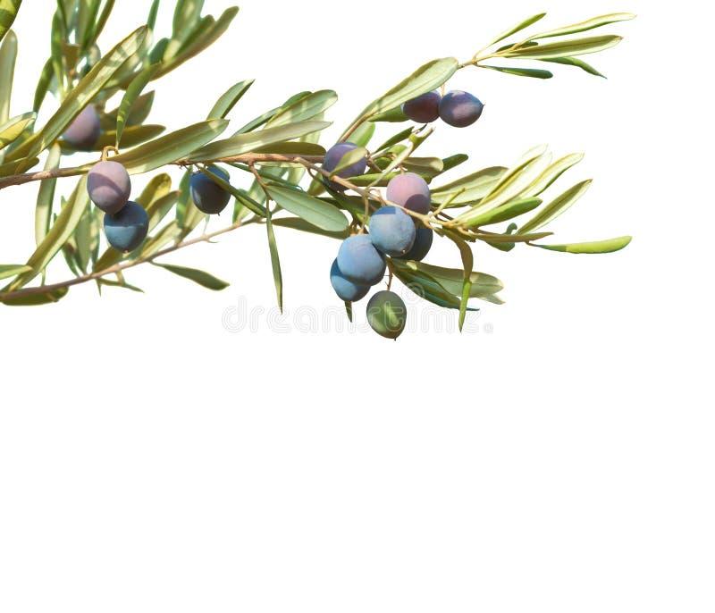 Оливковые ветки при оливки и листья изолированные на белой предпосылке стоковые изображения rf