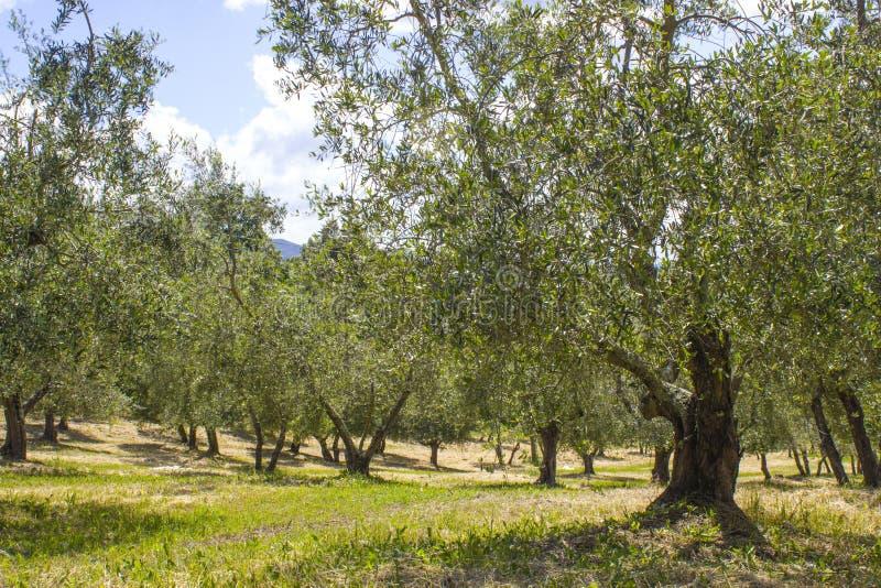 Оливковые дерева в Тоскане, Италии стоковые изображения