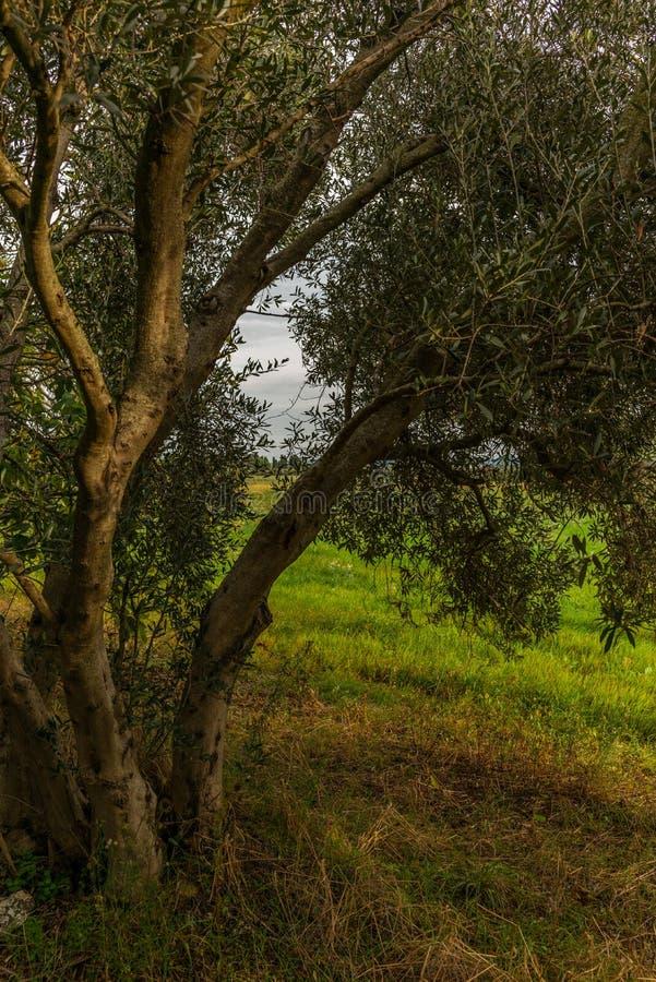 Оливковые дерева в Тоскане нагрузили со зрелыми оливками в осени - 3 стоковое фото