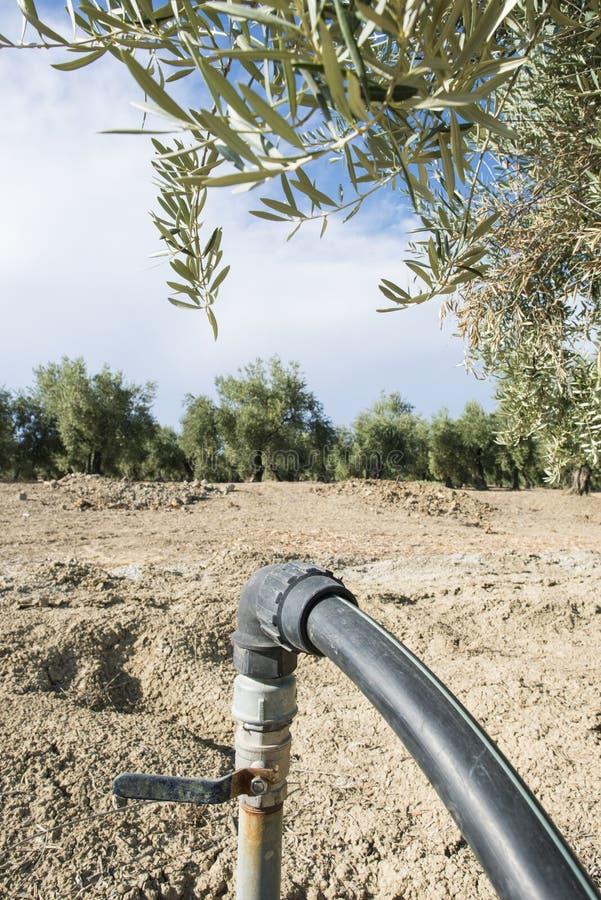 Оливковые дерева и полив стоковое фото rf
