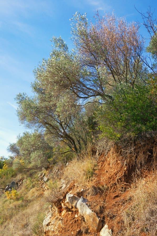Оливковые дерева растя на наклоне горы стоковое изображение