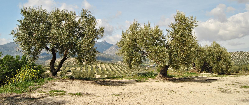 оливковые дерева 2 стоковые изображения rf