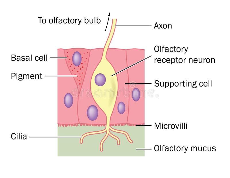 Ольфакторная деталь нервной клетки стоковые фотографии rf