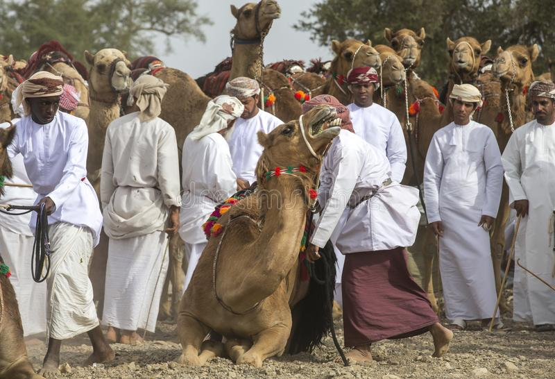Оманские люди получая готовый участвовать в гонке их верблюды на пылевоздушной стране стоковые фотографии rf