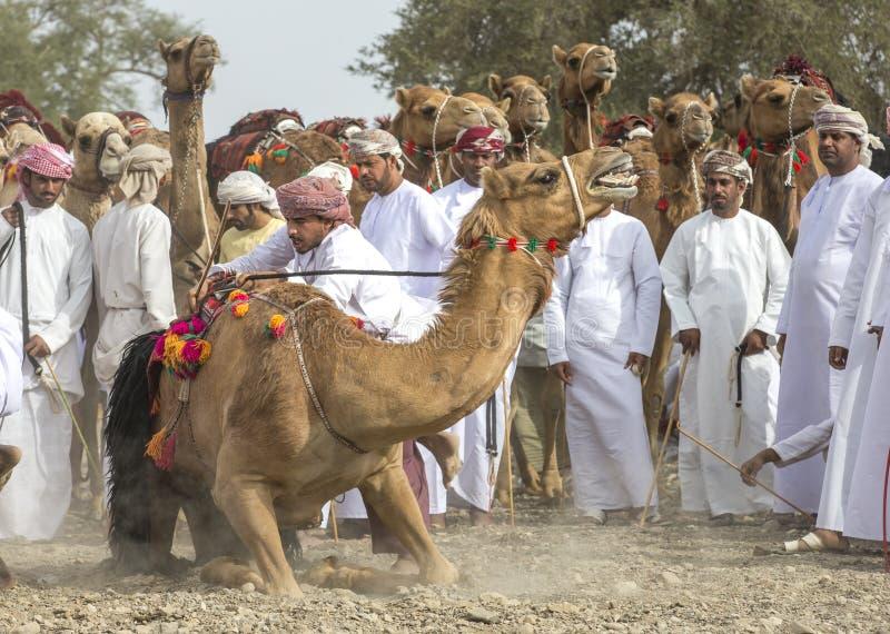 Оманские люди получая готовый участвовать в гонке их верблюды на пылевоздушной стране стоковое изображение rf