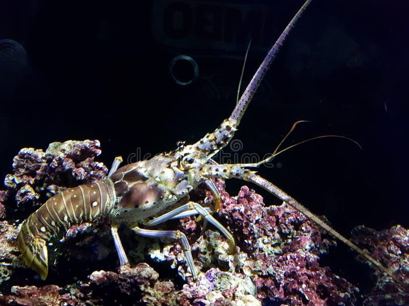 Омар в океане стоковое изображение rf
