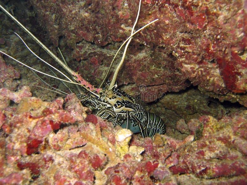 омар подводный стоковое изображение rf