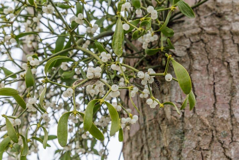 Омела на дереве стоковое фото rf