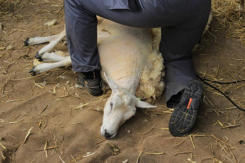 Она бреет овцу в конюшне фермы стоковые изображения