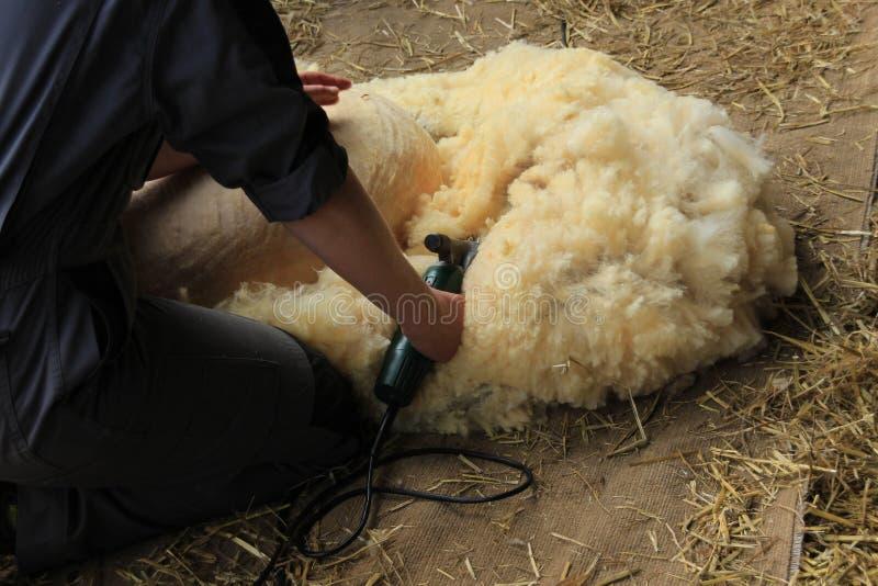 Она бреет овцу в конюшне фермы стоковые изображения rf