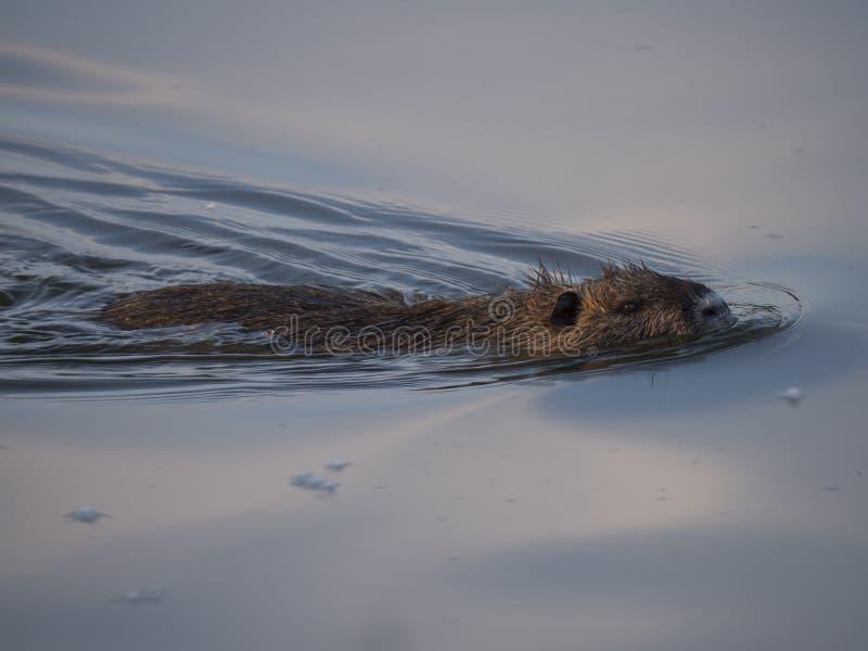 Ондатра, конец вверх по плаванию в спокойном открытом море в озере, золотое освещение zibethicus Ondatra захода солнца часа, фоку стоковое фото rf