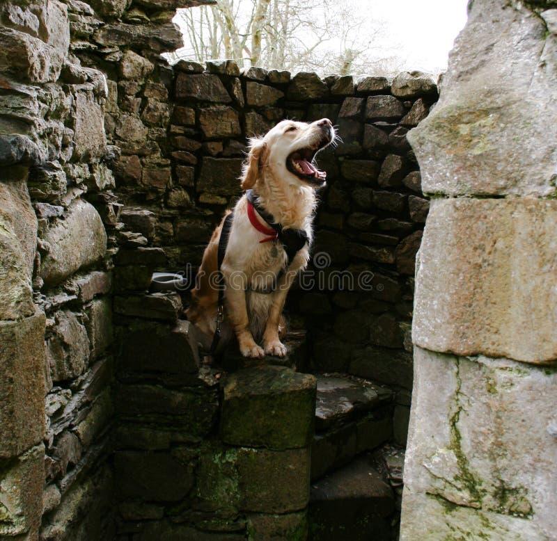 Оно собака или львицы стоковые фотографии rf