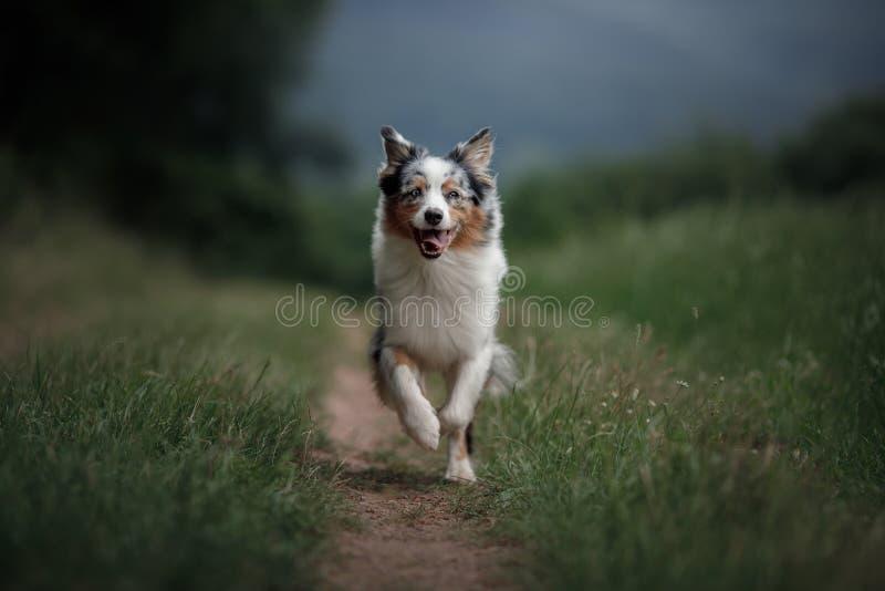 Он выслеживает бежит в поле Австралийский чабан в природе Активный любимец для прогулки стоковое фото