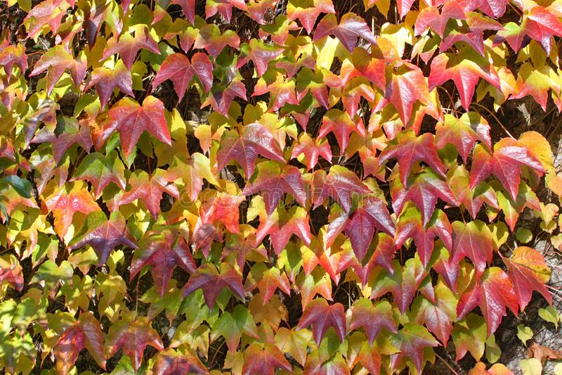 Он осенние цвета плюща groing вверх по стене на дендропарке Arley в Midlands в Англии стоковое фото rf