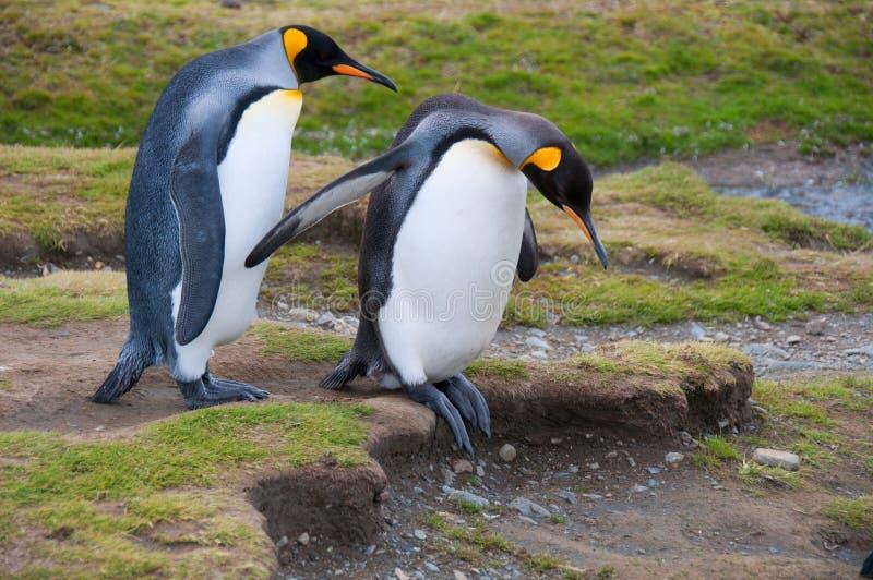 опасливые пингвины короля стоковое изображение rf