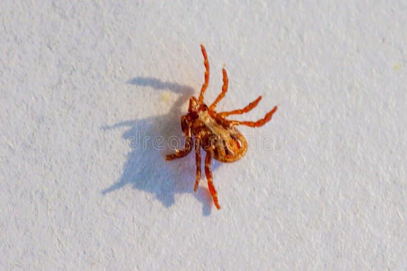Опасная лепта паразита и несущей инфекции стоковые фото