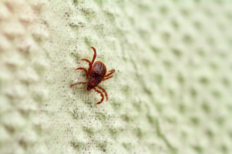 Опасная лепта паразита и несущей инфекции стоковая фотография