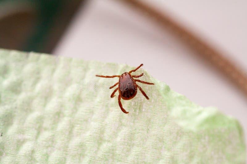 Опасная лепта паразита и несущей инфекции стоковые фотографии rf