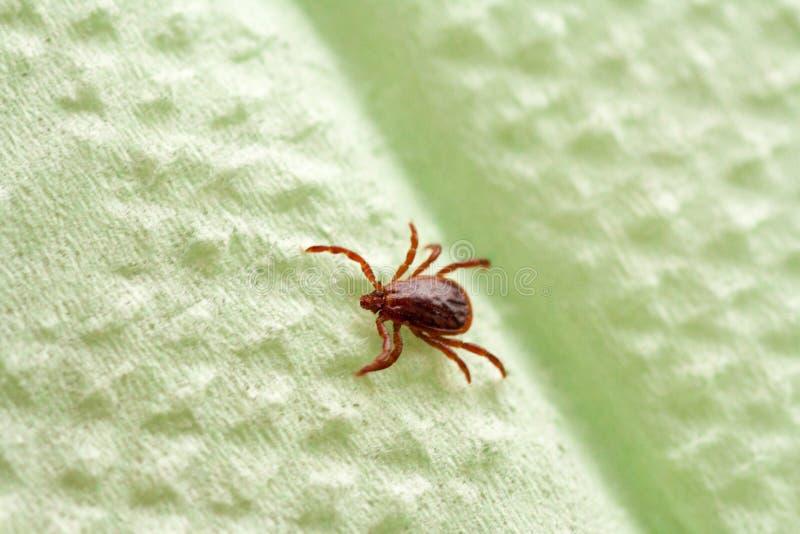 Опасная лепта паразита и несущей инфекции стоковое фото