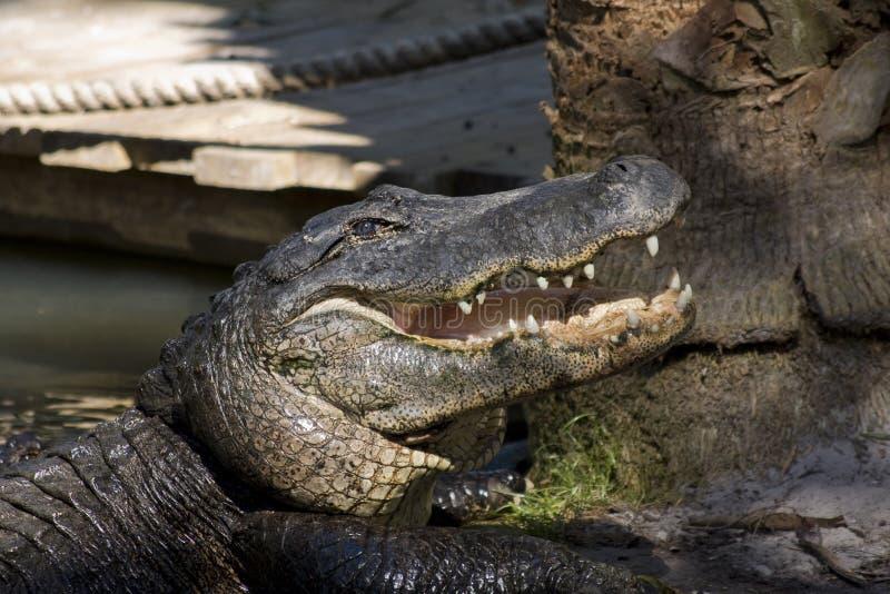 опасность аллигаторов стоковое фото rf