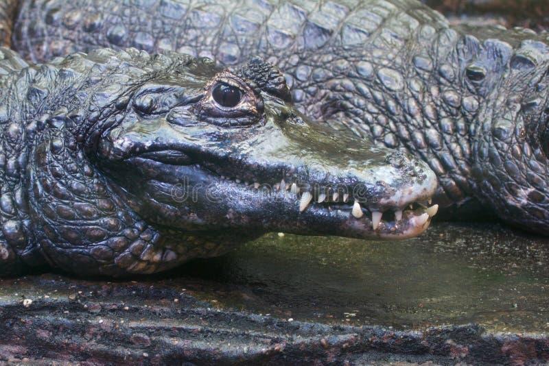 Опасный крокодил ища свой Prey Стоковые Изображения RF