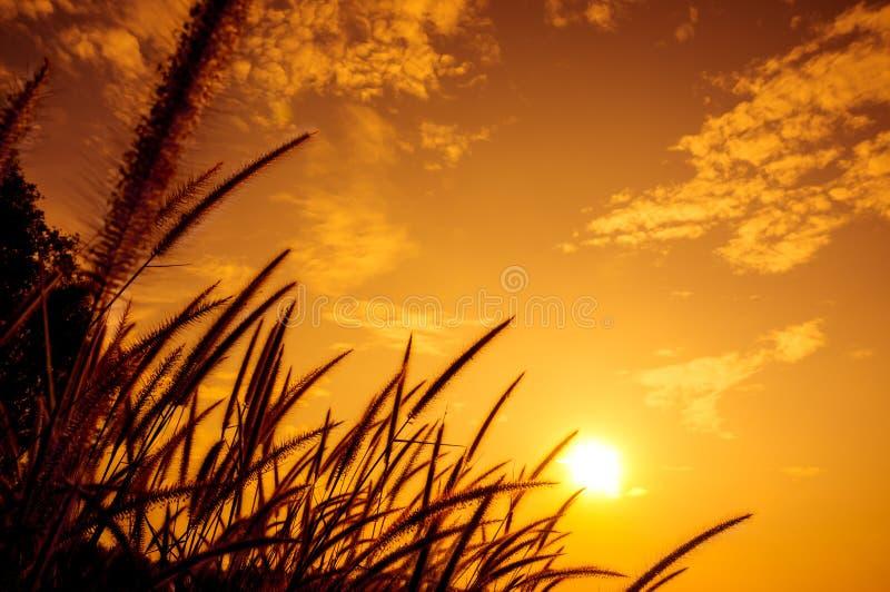 Оперитесь pennisetum накаляя против солнечного света в вечере стоковые фотографии rf
