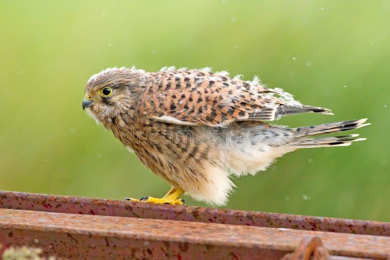 оперяет детеныши гнездя kestrel стоковые изображения