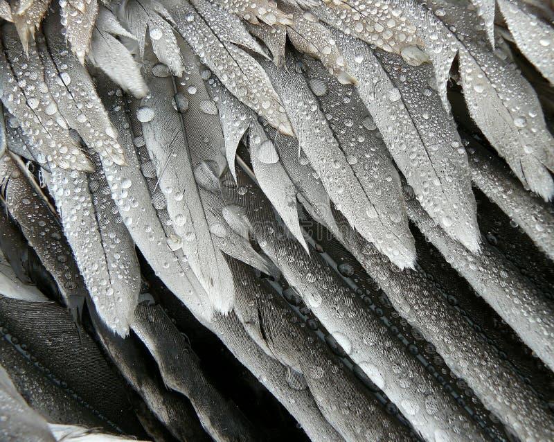 оперяет серые пеликаны стоковые фотографии rf