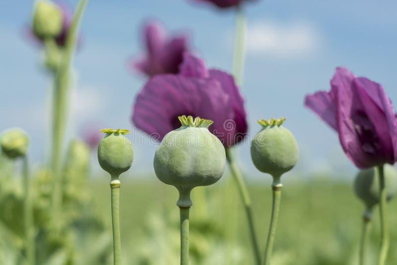 Опиумный мак цветет крупный план стоковая фотография rf