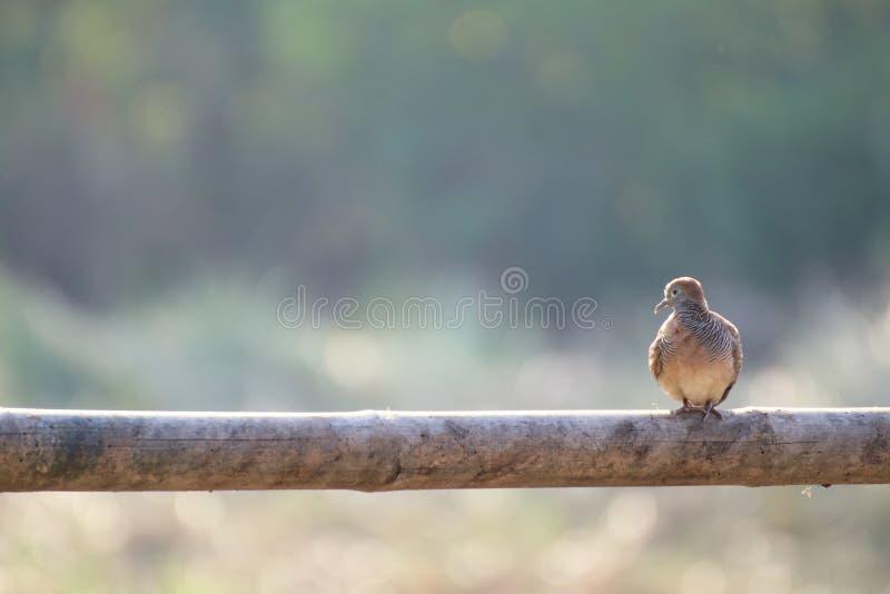 Оплакивать нырнул птица, птица голубя черепахи, голубь утеса, голубь утеса стоковое фото