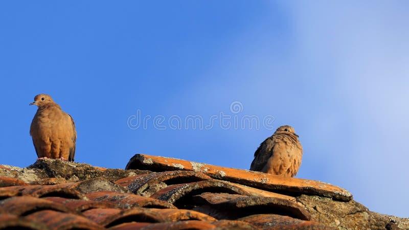 Оплакивая голуби на старой крыше на времени захода солнца над облачным небом, мирной концепции с космосом для вашего текста или л стоковые фотографии rf