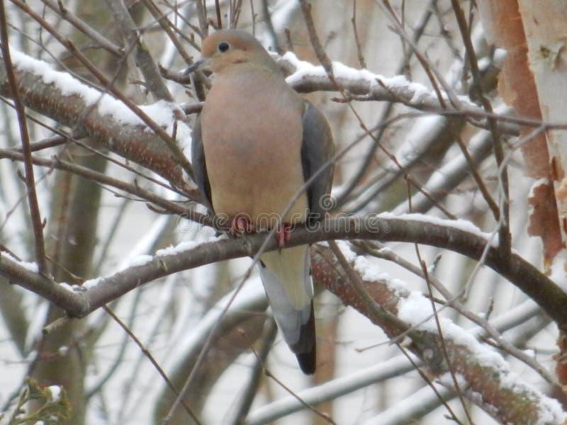 Оплакивая голубь в снеге раннего утра стоковые фотографии rf