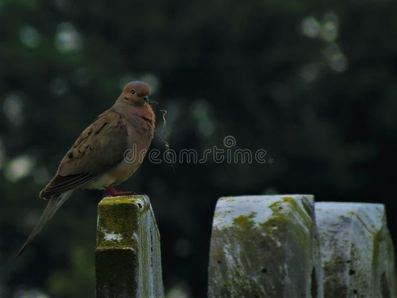 Оплакивая голубь на могильном камне с подарком стоковая фотография