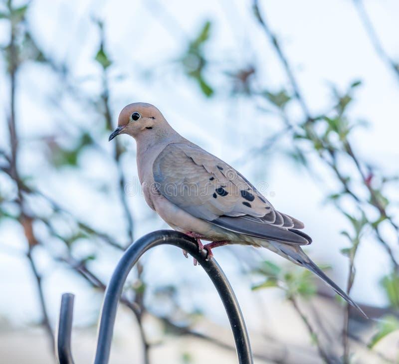 Оплакивая голубь Percherd на поддержке фидера стоковые фото