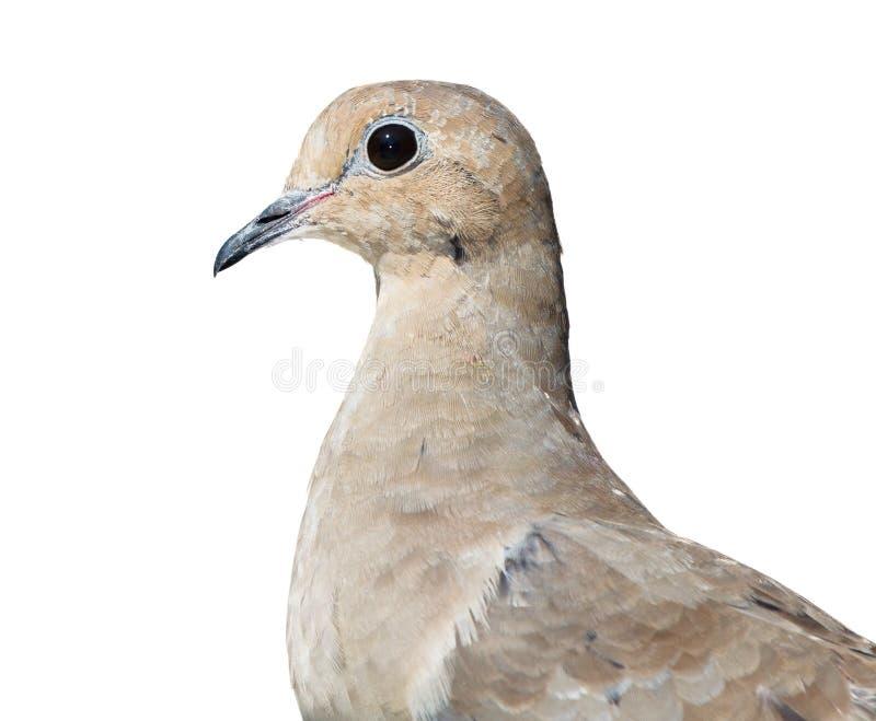Оплакивая Dove стоковая фотография